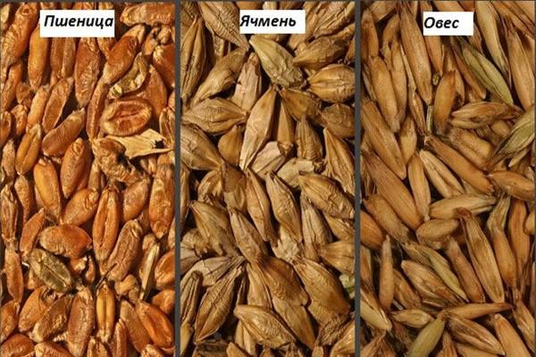 Пшеница, ячмень и овес в сравнении