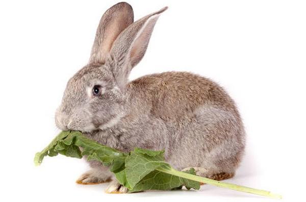 Кролик кушает хрен
