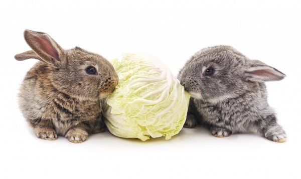 Два кролика и капуста