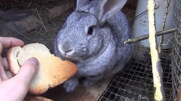Кролик кушает сухарь