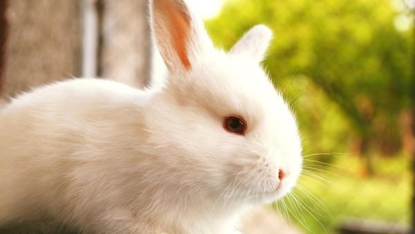 Белый кролик альбинос