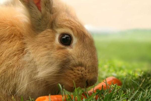 Кролик кушает моркву