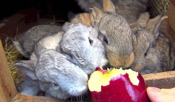 Кролики кушают яблоко