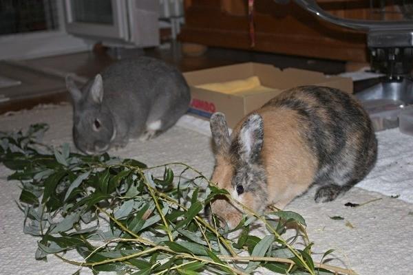 Кролики кушают веточку