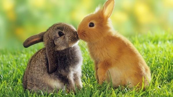 Два здоровых кролика