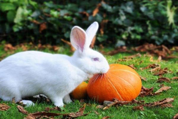 Кролик кушает тыкву