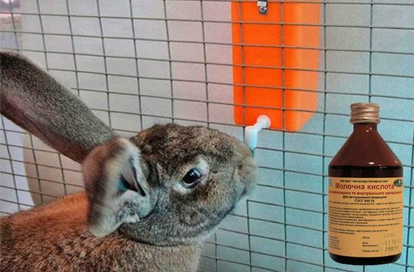 Крольчиха пьет молочную кислоту