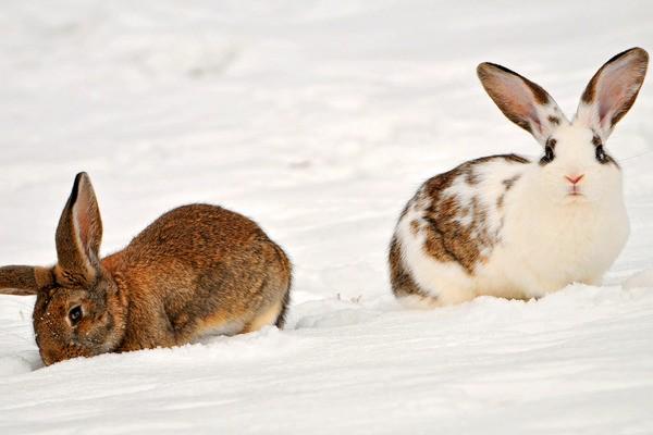 Кролики зимой на улице