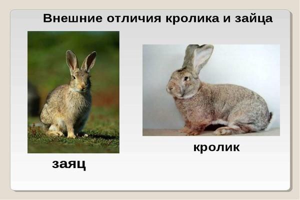 Внешние отличия кролика и зайца