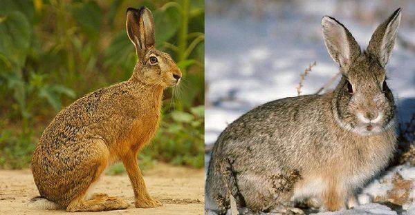 Так выглядят кролик и заец