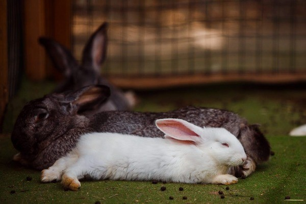 Кролик с зайцем в одной клетке