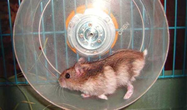 Правильное беговое колесо для хомяка