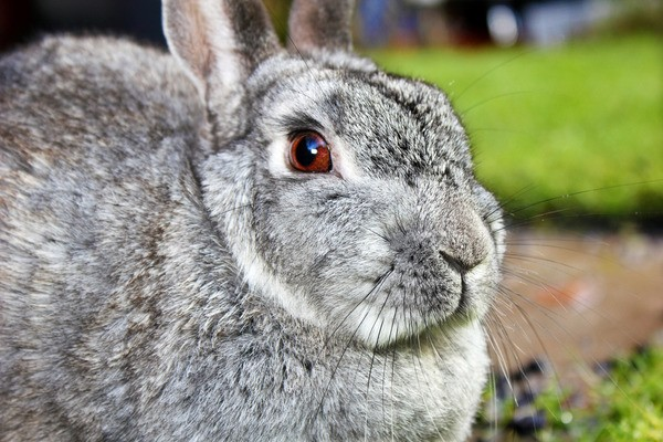Шиншилловый кролик в клетке