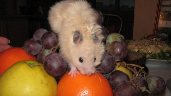 Хомяк на фруктах