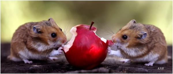 Хомяки грызут яблоко