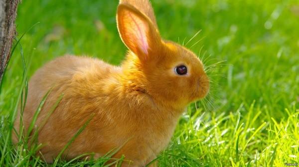 Рижый кроль