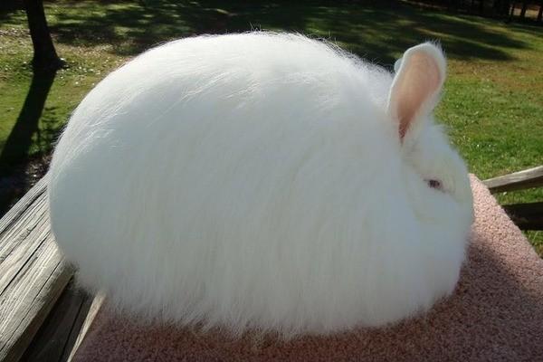 Самый пушистый кролик