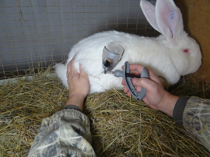 Прививка кролика