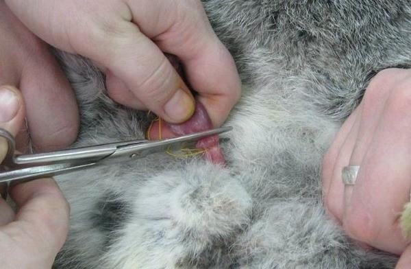Обрезание кролика