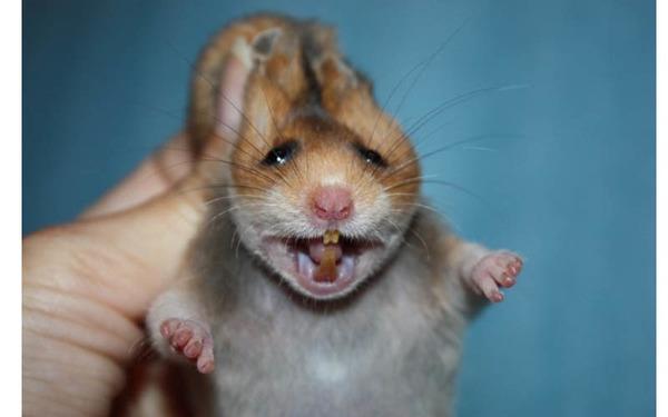 Фото зубов у хомяка