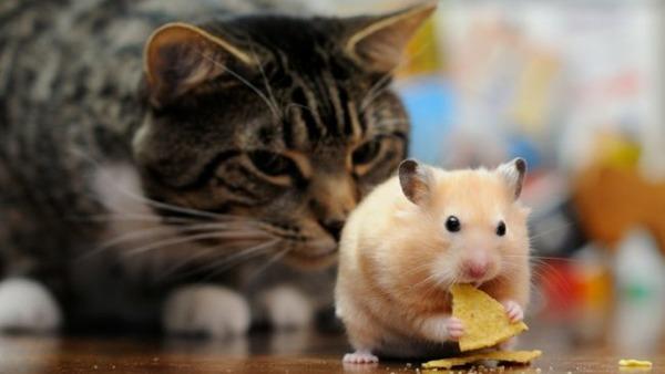 Кот нюхает хомячка