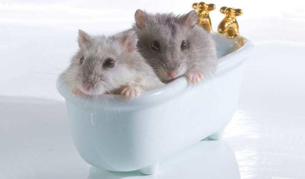 Джунгарики в ванночке