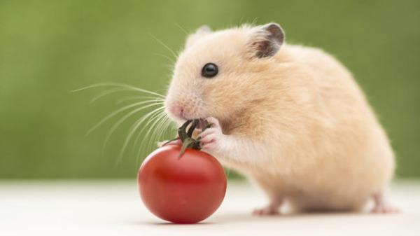 Овощ довольно полезный для зверька