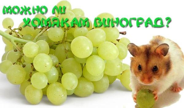 Джунгарик держит виноград