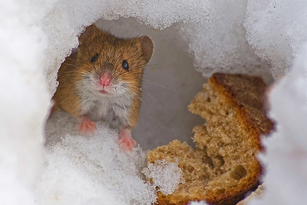 Хомячок держет в норе хлеб