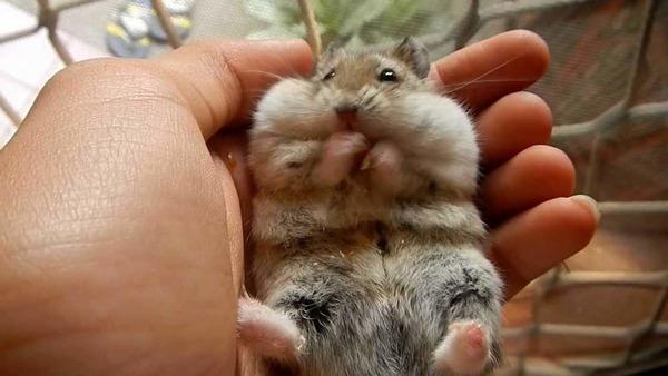 Маленький хомячок