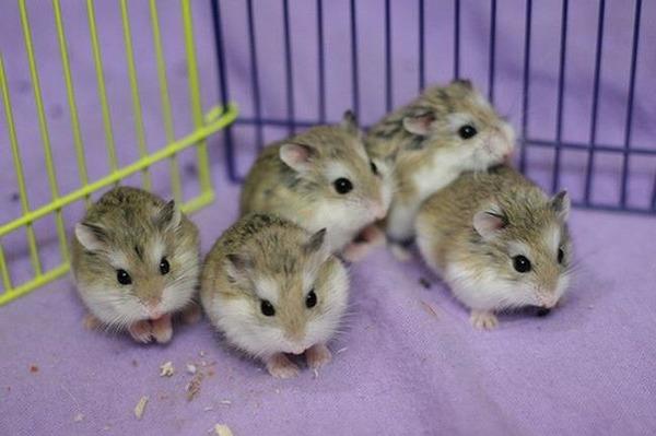Пять мохноногих хомячков