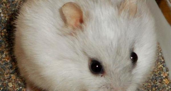 Белый хомячок