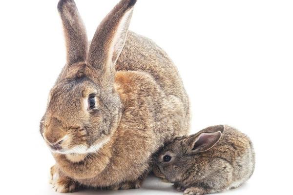 Большой и маленькой кролик