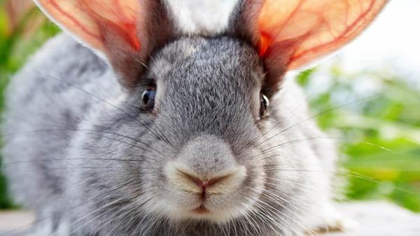 Возраст кролика по глазах