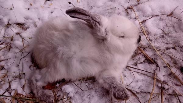 Больной крольчонок в снегу