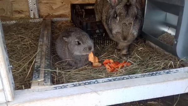 Крольчиха и крольчонок в клетке