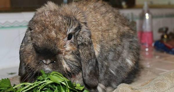 Кролик кушает траву