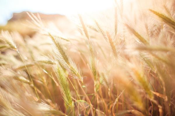 Зерна бобовых и злаковых