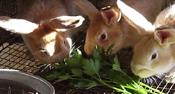 Кролики кушают зелень
