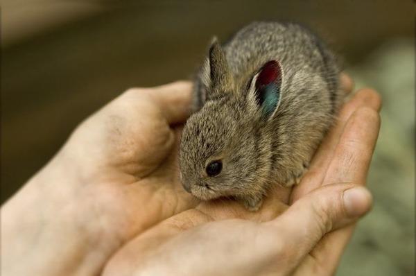 Самый маленький кролик в мире