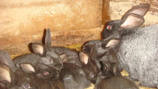 Рост и развитие крольчат