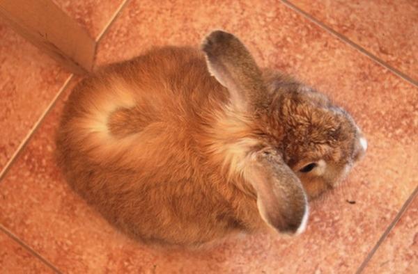 Стригущий лишай у крольчонка
