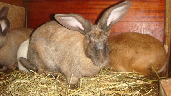 Беременна ли ваша крольчиха?