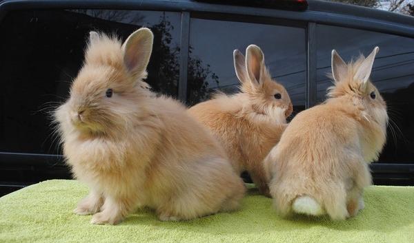 Три декоративные кролики