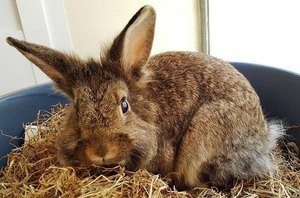 Самка кролика