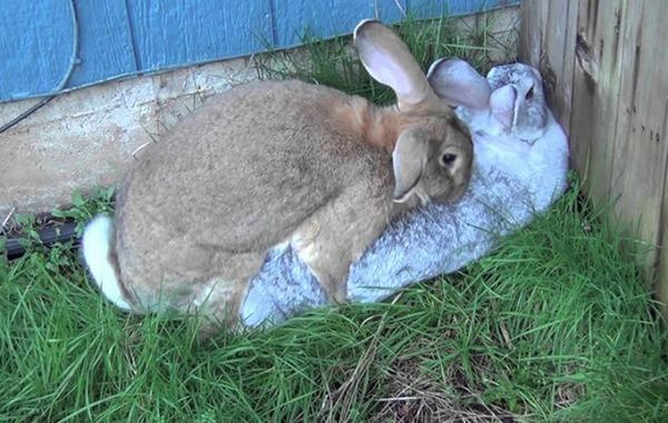 Половая охота у крольчих
