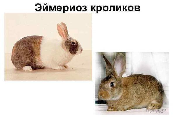 Эймериоз кроликов