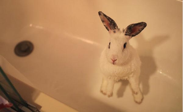 Декоративный кролик в ванной