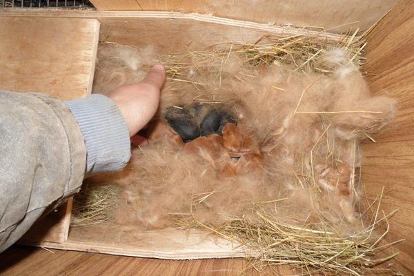 Подготовка гнезда для сукрольной крольчихи