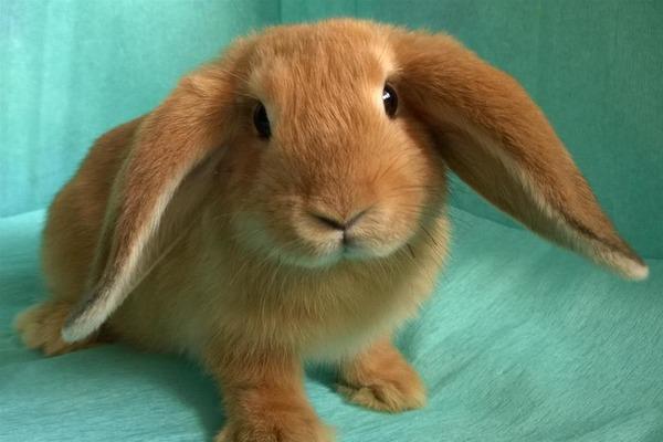 Рыжий кролик